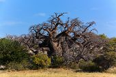 foto of baobab  - A big african baobab standing on kubu island in Botswana - JPG