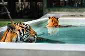 picture of tigress  - Pair of indochinese tigers relaxing in pool - JPG