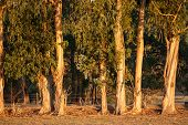 pic of early morning  - row of Tasmanian Bluegum trunks and foliage caught in glow of early morning light - JPG