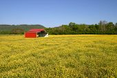 pic of red barn  - a red pole barn in a field of yellow buttercups - JPG