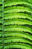 image of fern  - Close up of fresh new fern leaf  - JPG