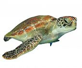 stock photo of green turtle  - Green Sea Turtle  - JPG