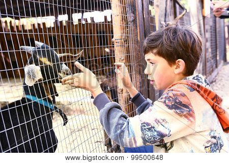 preteen handsome boy touch goat in the zoo
