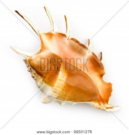 Giant Spider Conch Shell (lambis Truncata)
