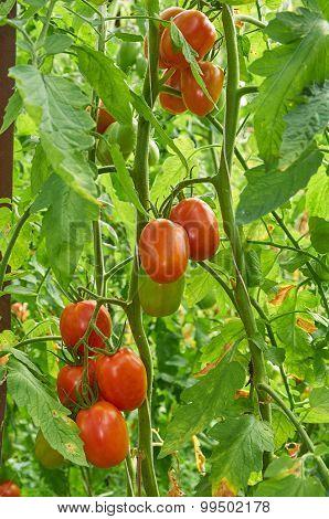 Branch Of Red Tomato On Vegetable Garden