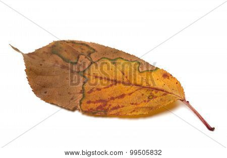 Multicolor Autumn Leaf On White Background