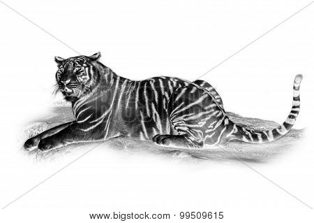 Black and white portrait of White tiger.