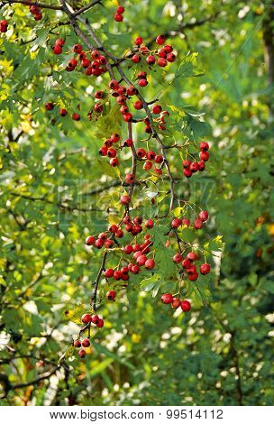 Fruit of hawthorn (Crataegus laevigata)