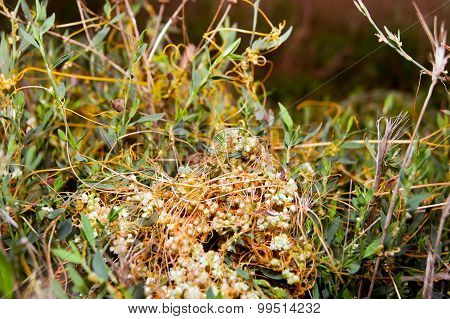 The big dodder (Cuscuta campestris)