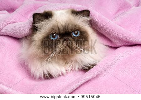 Close Up Of A Persian Seal Colourpoint Cat On A Pink Bedspread