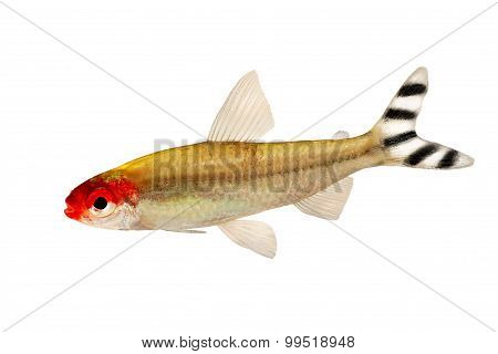 Aquarium fish Rummy-nose Tetra Hemigrammus rhodostomus bleheri freshwater