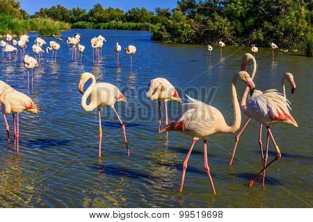 Sunset in the Camargue national park. Rhone Delta, Provence, France. Flock of adorable pink flamingos. Exotic birds standing in a shallow lake
