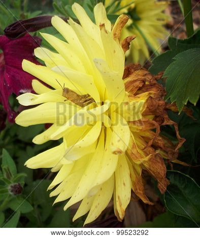 Grasshopper in Dahlia Flower