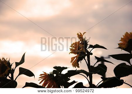 sunflower under sunset