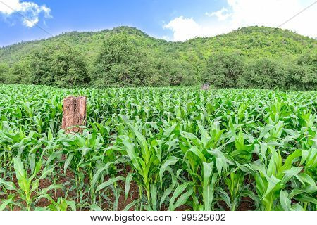 Corn field with blue sky in morning.