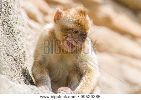 Grumpy Barbary Macaque (macaca Sylvanus)