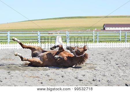 Young red horse lying in the sand.