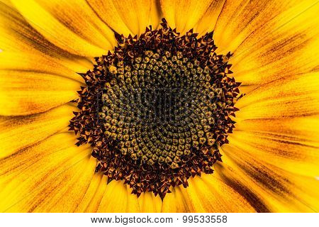 Ornament Sunflower.