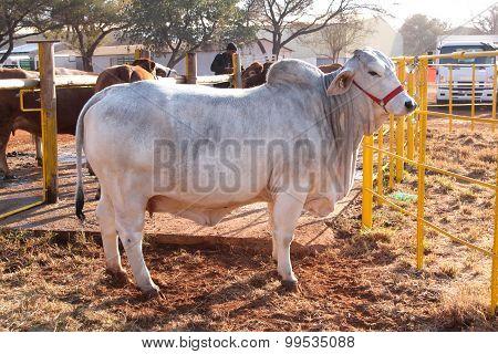 White Brahman Bull Standing In The Morning Sun
