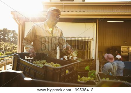 Man Unloading Grape Boxes In Wine Factory