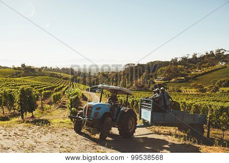 Grape Picker Truck Transporting Grapes From Vineyard To Wine Fa