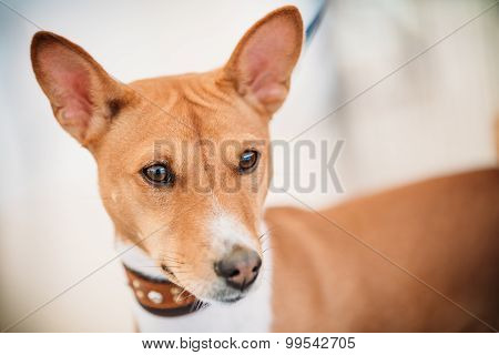 Close Up Basenji Kongo Terrier Dog