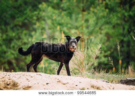 Small Size Black Hunting Dog In Spring, Summer Forest