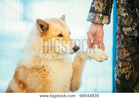 West Siberian Laika Close Up