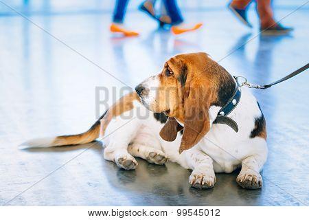 White And Brown Basset Hound Dog