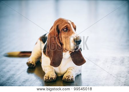 White And Brown Basset Hound Dog