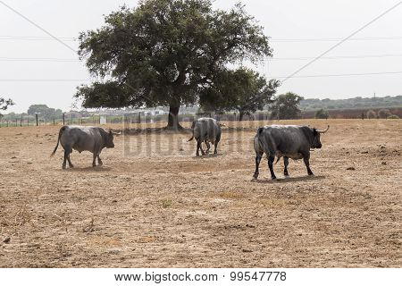 Farm Bullring In Seville, Spain