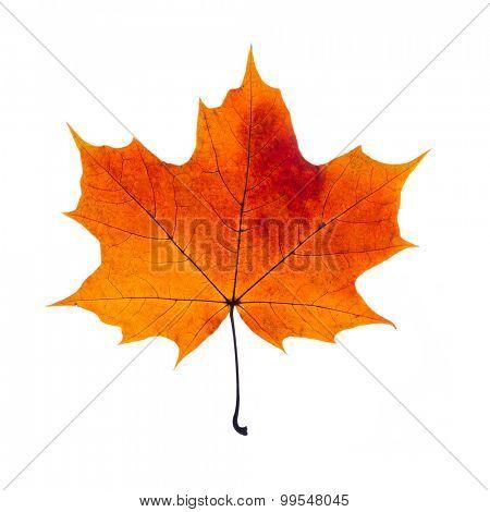 autumn fallen maple leaf isolated on white background