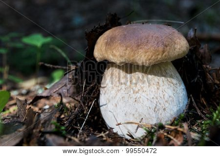 Beautiful cep in ground