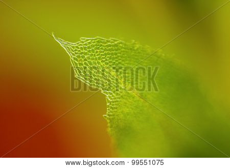 Detail Of Moss Leaf
