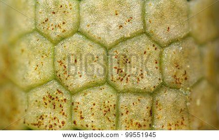 Horsetail Closed Strobilus (sporangia) Texture