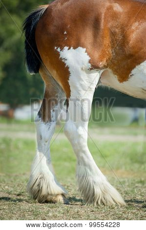 Legs Of Clydesdale Horse
