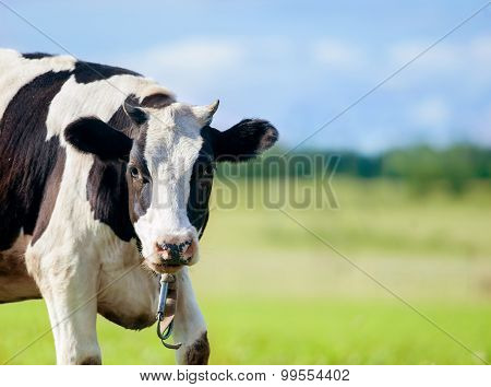 Black And White Cow Looks At Camera