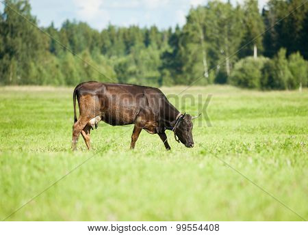 Brown Cow Grazing In A Green Meadow