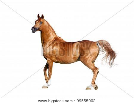 Expressive Chestnut Arabian Horse Isolated On White