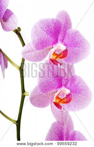 Branch of violet orchid flower.
