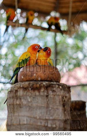 Couple Of Sun Parakeet Parrots Perching On A Bowl