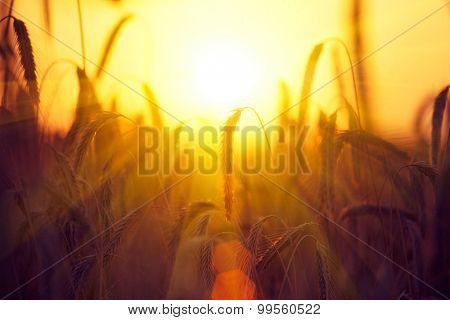 Field of Dry Golden Wheat. Harvest Concept. Barley in sunset light, flares, glow sun. Crop field