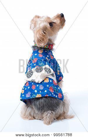 Yorkshire Terrier In Japanese Yukata