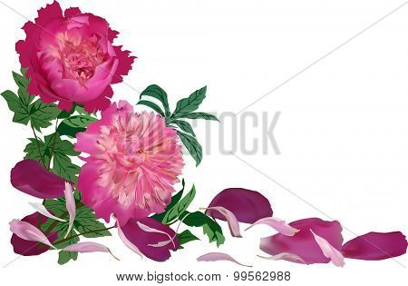 illustration with group of red peony flowers isolated on white background
