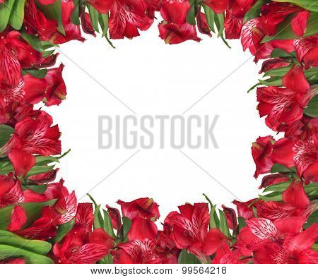 red garden flowers isolated on white background