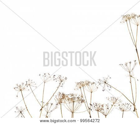 old dry plants corner isolated on white background