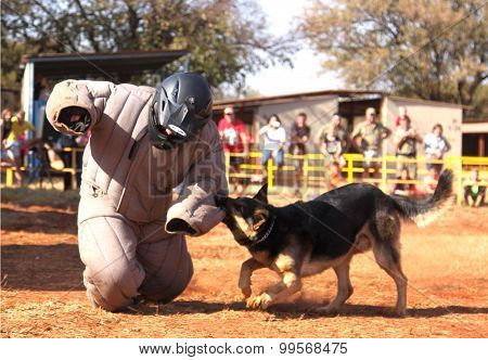 Police Trained Alsatian Dog, Take Padded Running Man Down In Show Simulation. Sequence 6 Of 10.
