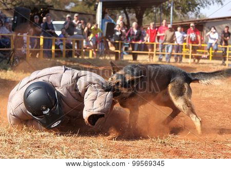 Police Trained Alsatian Dog, Take Padded Running Man Down In Show Simulation. Sequence 8 Of 10.