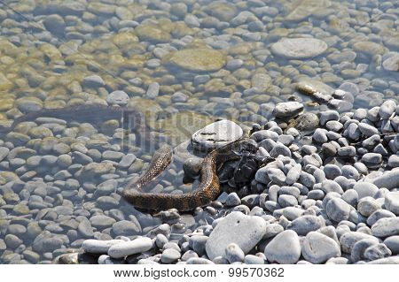 Water Snake With Prey