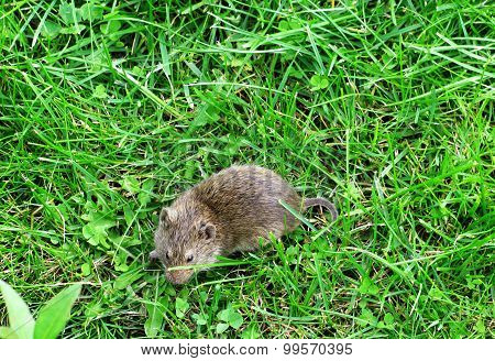 Vield vole. Mouse on green grass